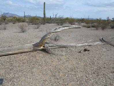 Dead saguaro