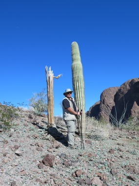 One dead and one live saguaro