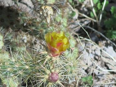 chain cholla blooms